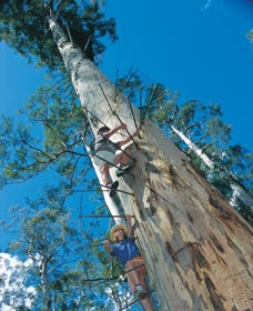 Dave Evans Bicentennial Tree - Accommodation Perth