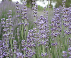 Warratina Lavender Farm - Accommodation Perth
