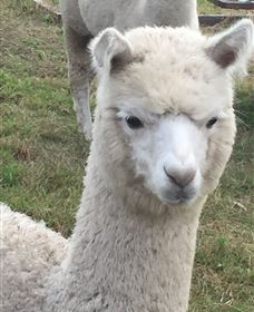 Storybook Alpacas - Accommodation Perth