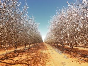 Mallee Almond Blossom Festival - Accommodation Perth