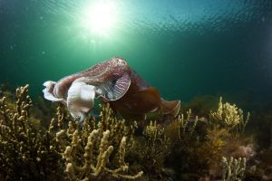 Cuttlefish Diving  Snorkeling EVERYDAY May -August - Accommodation Perth